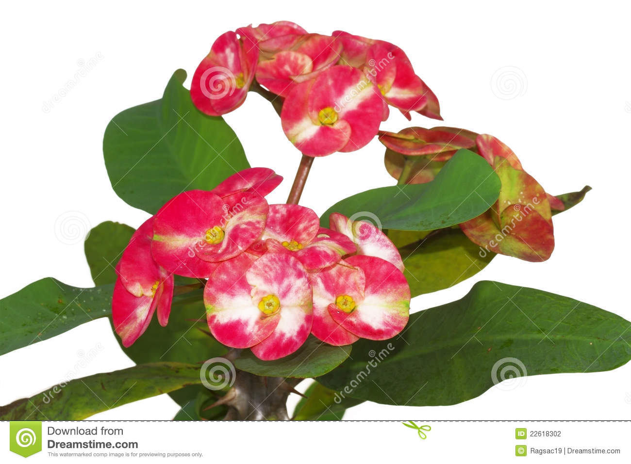 Beautiful pink flowers in the garden stock photography image - Crown Of Thorns Or Christ Flower Stock Photography Image