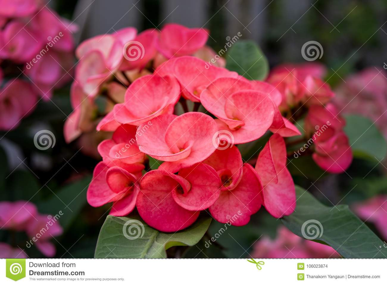 Crown of thorns flowers stock photo image of tree 106023874 the beautiful pink flower crown of thorns flower in the garden look fresh mightylinksfo