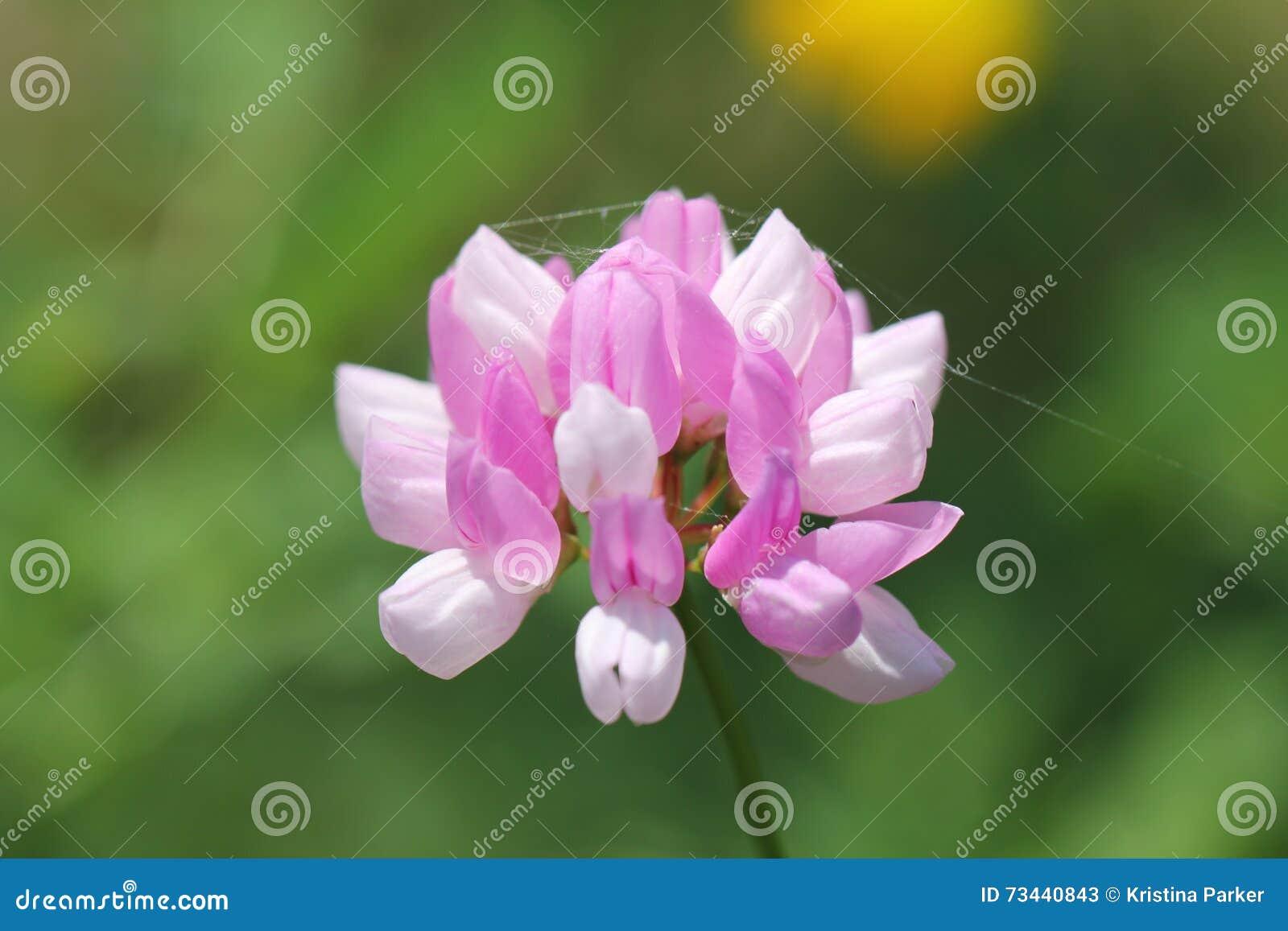 Crown vetch stock image image of full botany crown 73440843 crown vetch izmirmasajfo