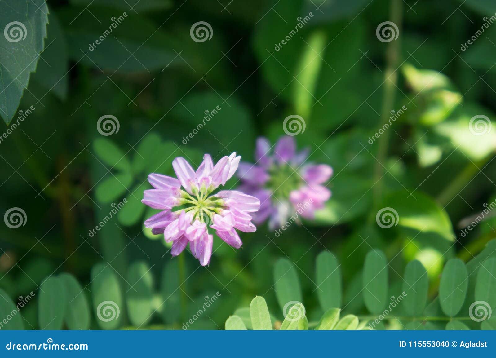 Crown vetch securigera varia blooming in summer stock photo image crown vetch securigera varia blooming in summer izmirmasajfo