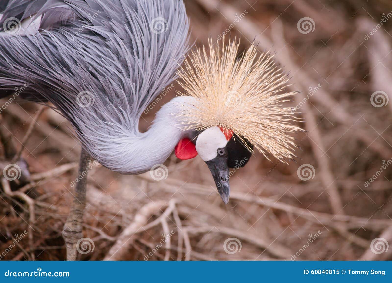 Crowned crane close up