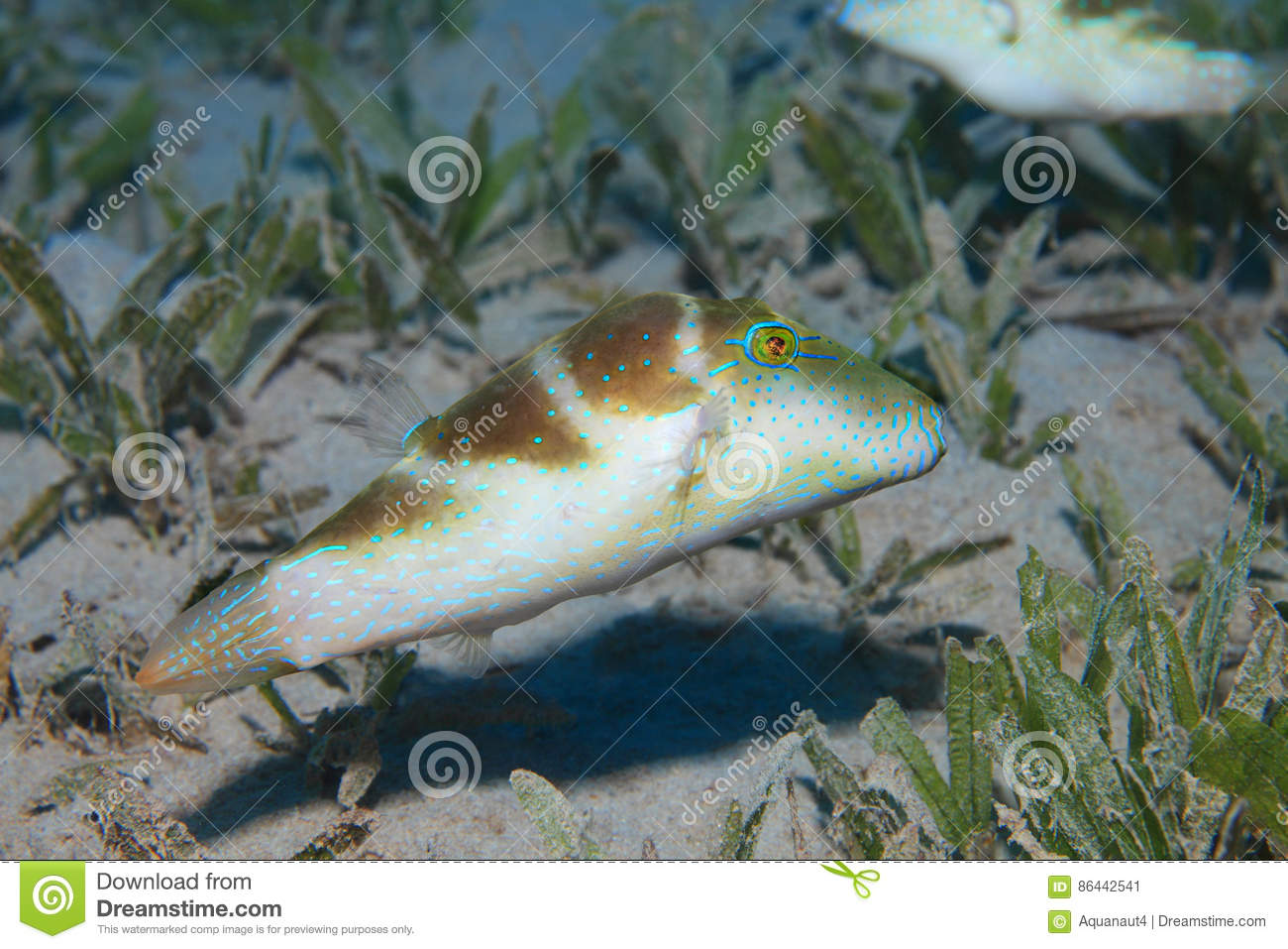 Crowned puffer fish