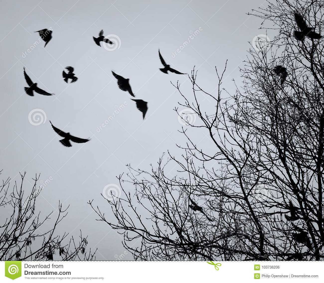 Crows flying amongst bare winter tree branches