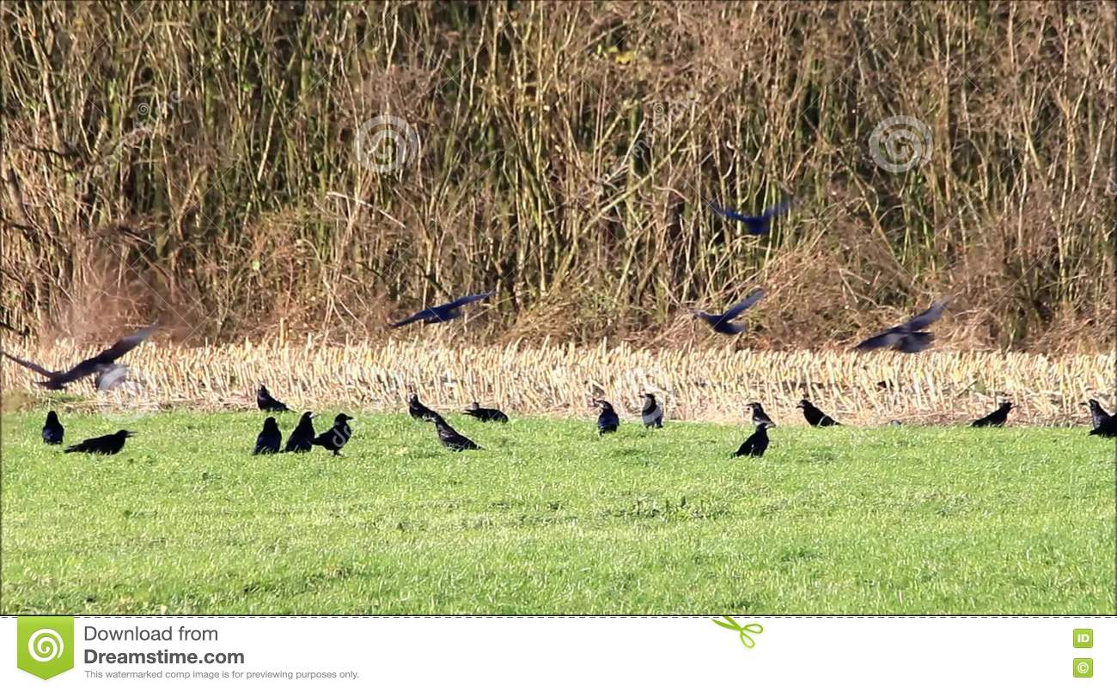 Crows Picking Over Prairie Burn On >> Crows On Meadow Stock Footage Video Of Tree Flight 82479932