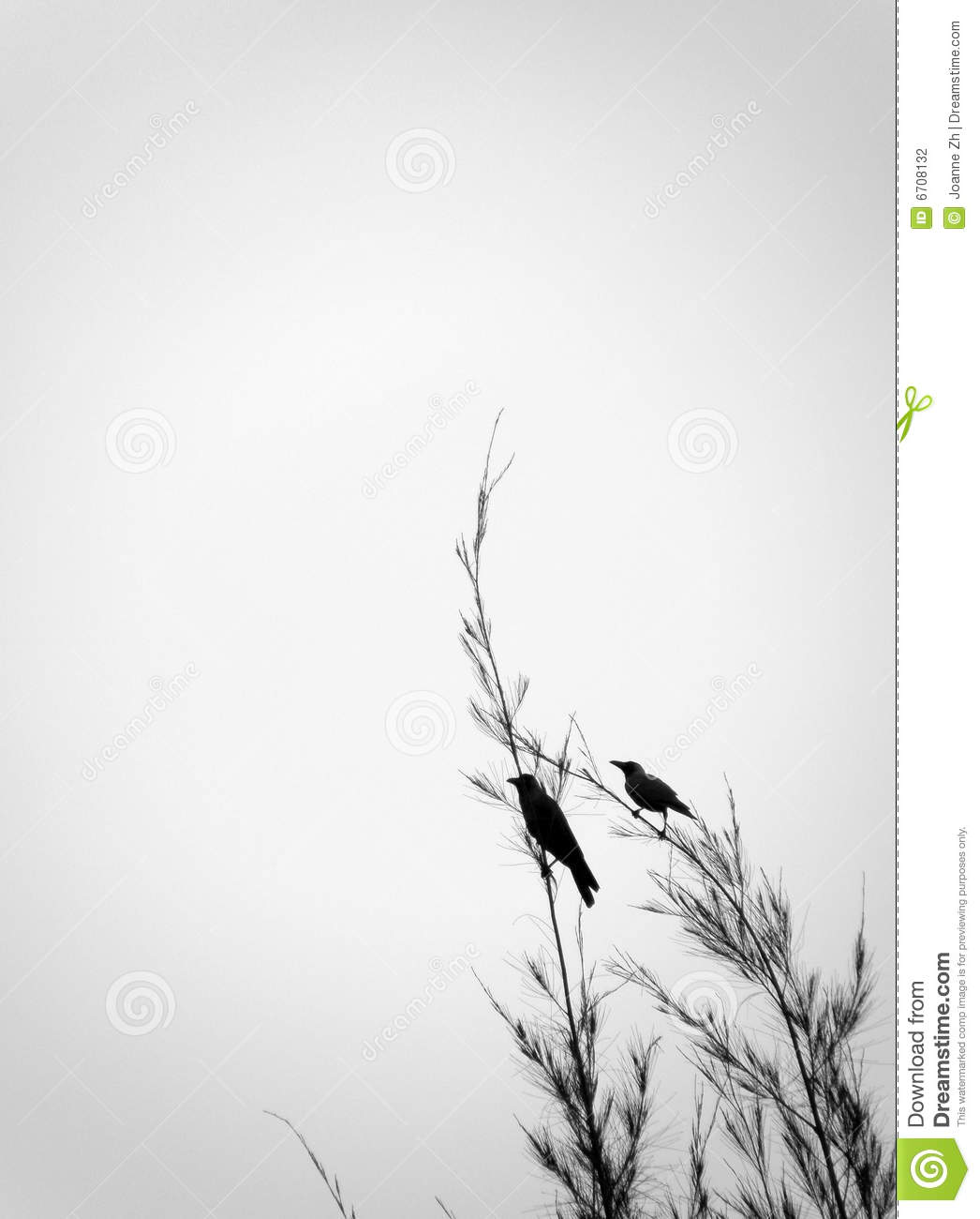 Crows perch on tree top branch