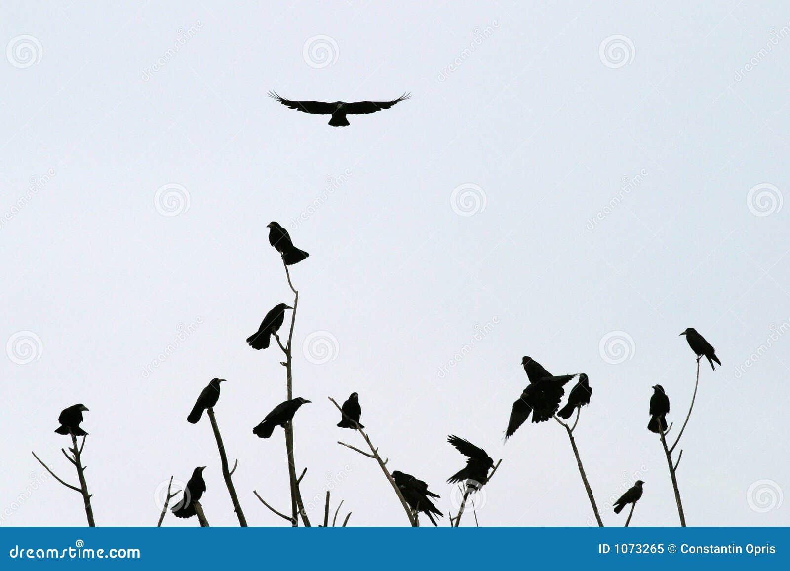 crows sitting royalty free stock photo image 1073265