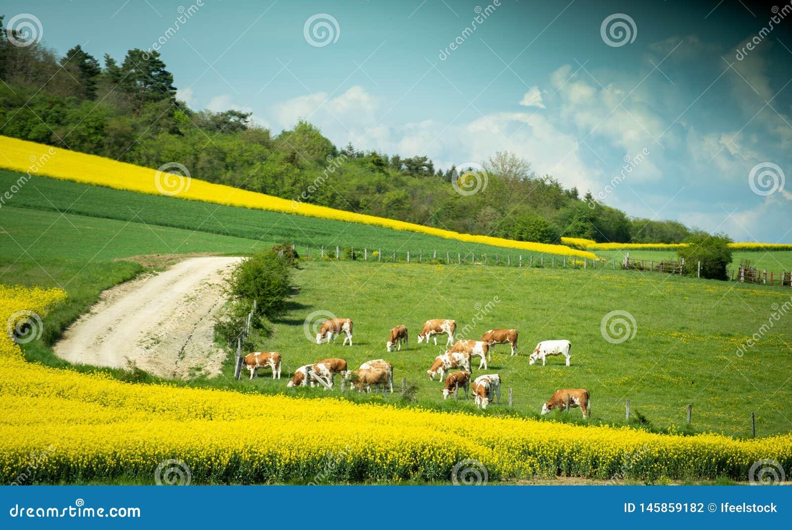 Crowz que pasta a grama do alimento no campo na cena da calma de França