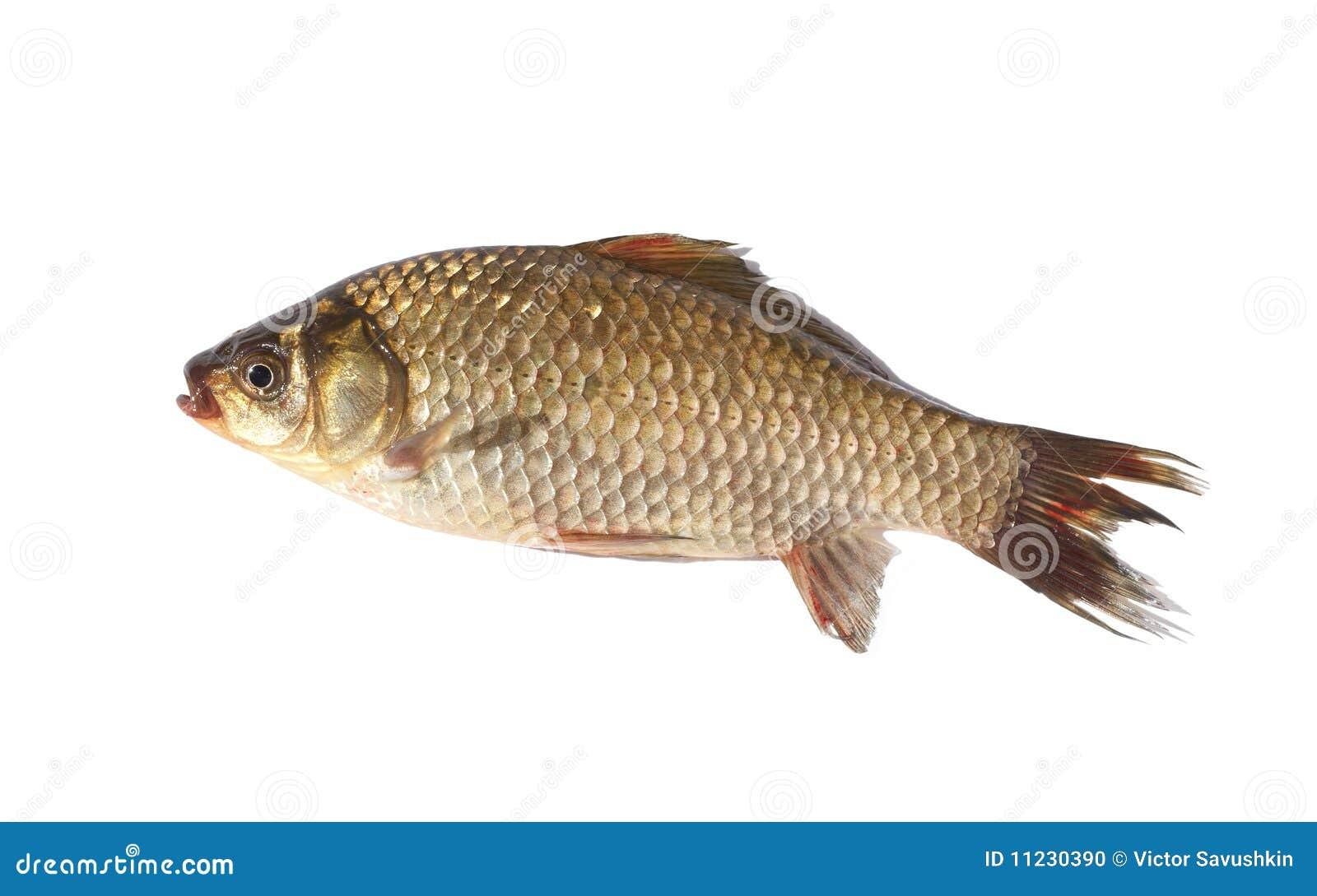Crucian carp fish on white background stock photo image for White amur fish