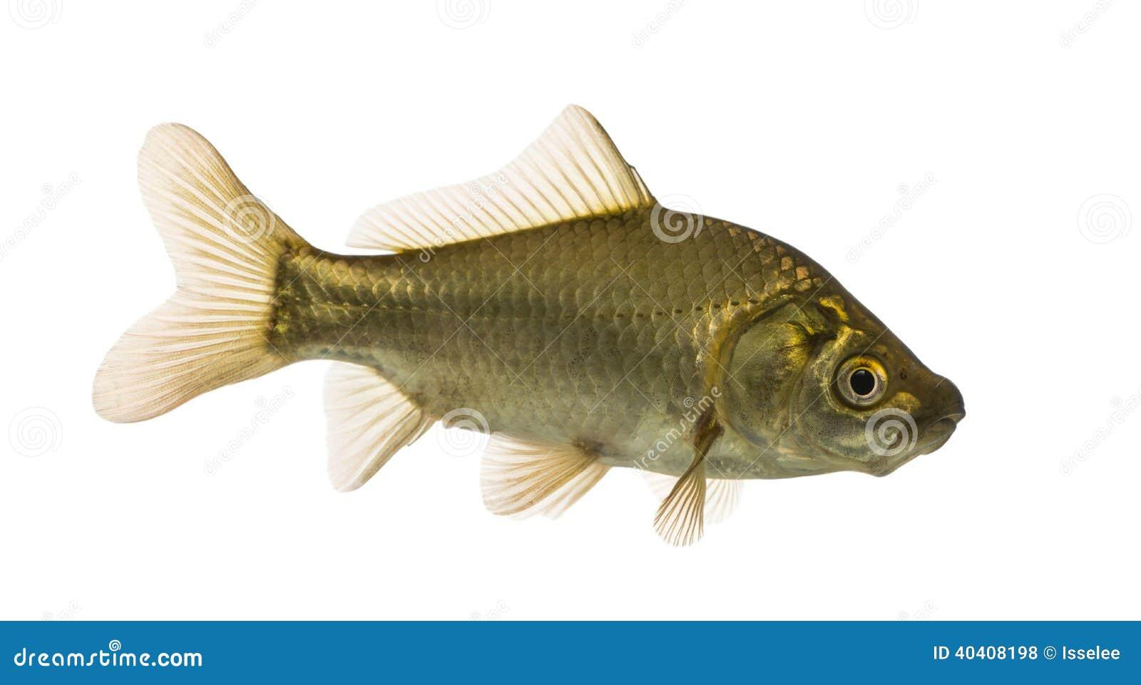 Crucian carp swimming, Carassius carassius, isolated