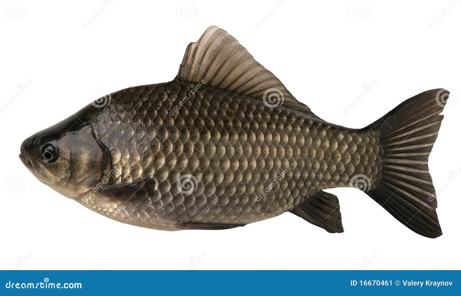crucian de poissons crus d 39 isolement sur le fond blanc image stock image 16670461. Black Bedroom Furniture Sets. Home Design Ideas