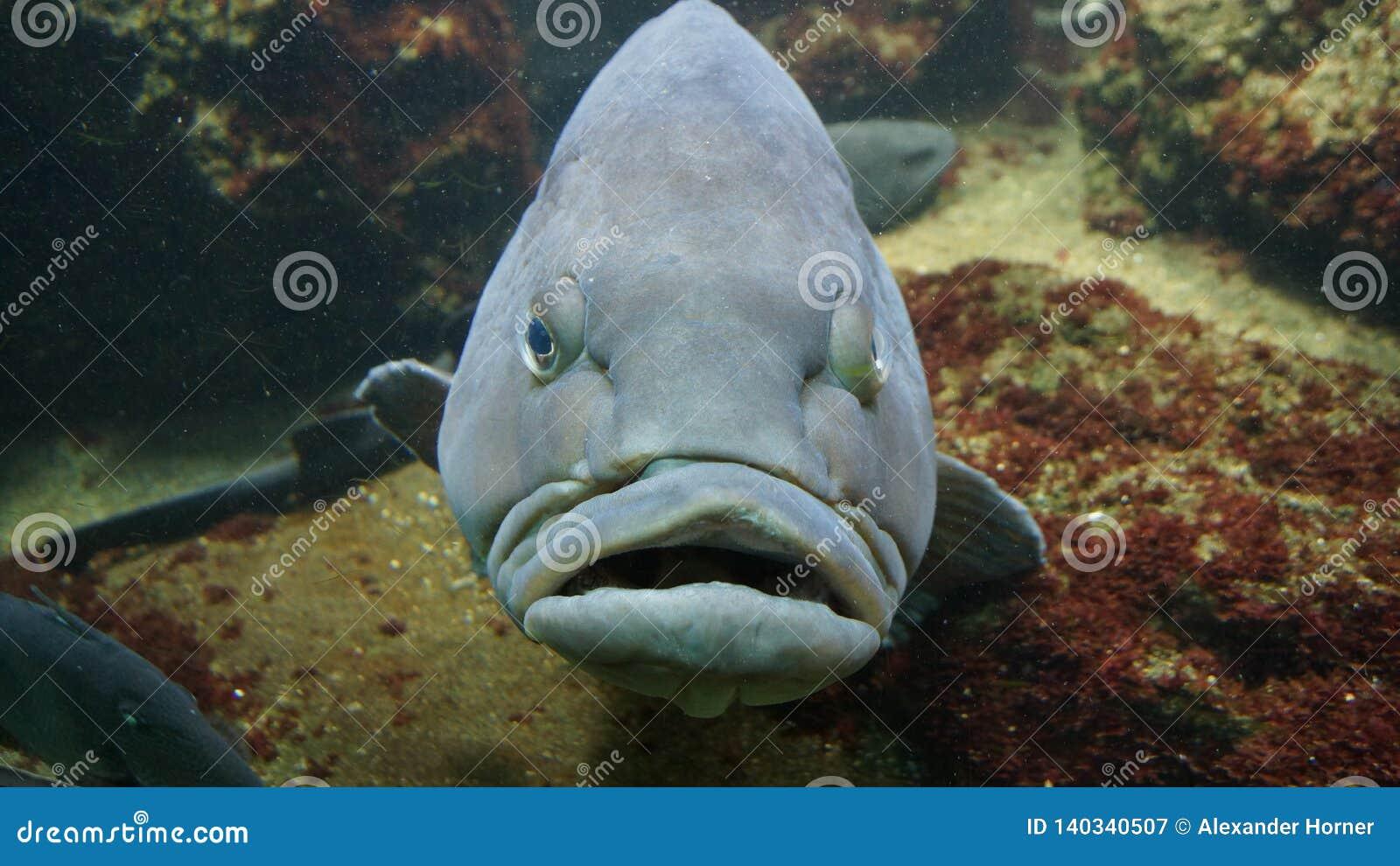 Crumpy przyglądająca duża ryba popielata