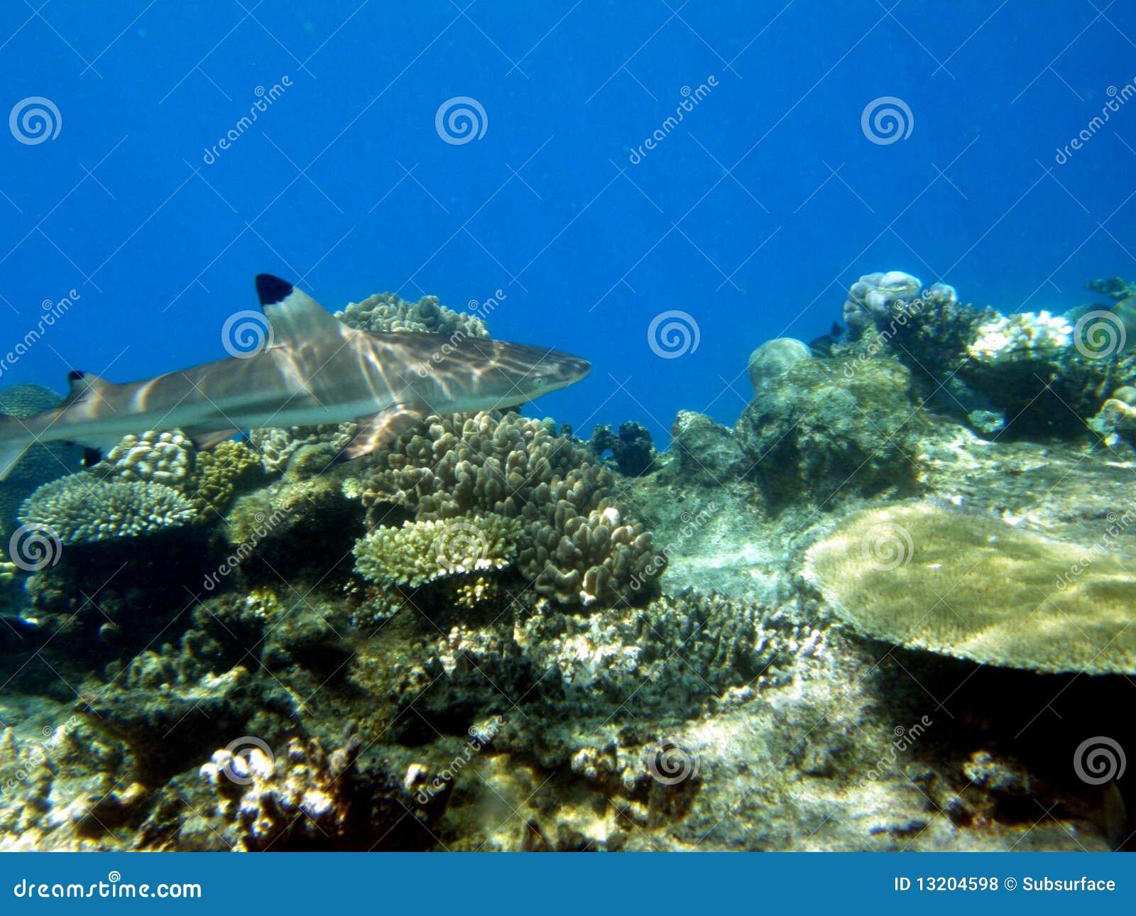 Cruzamento preto de Fiji do tubarão do recife da ponta