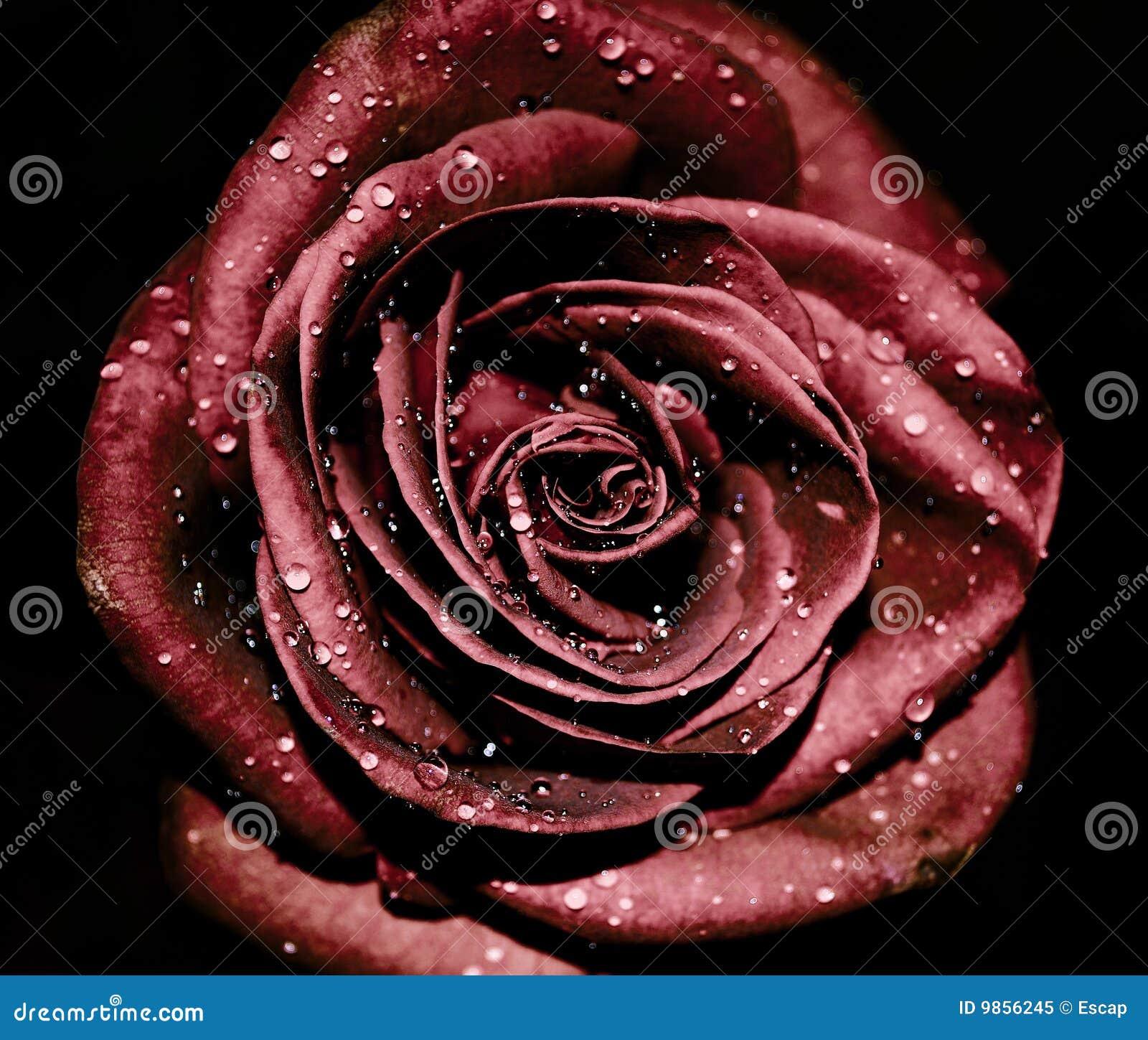 Cry rose
