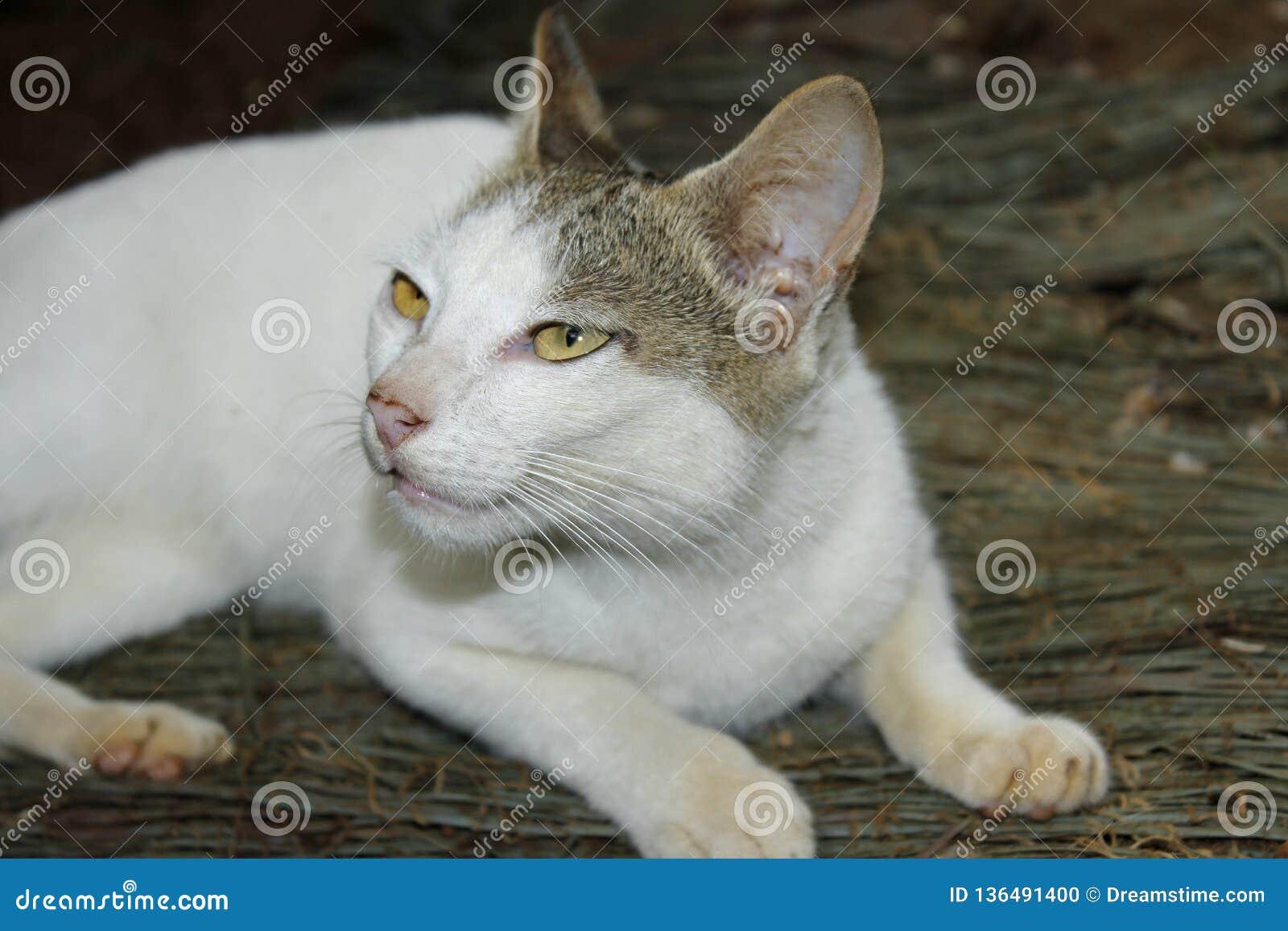 Crying cute white cat