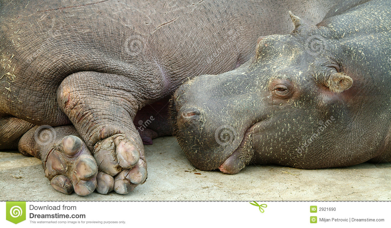 What are the legs of a hippopotamus, legs or feet called And a giraffes feet or