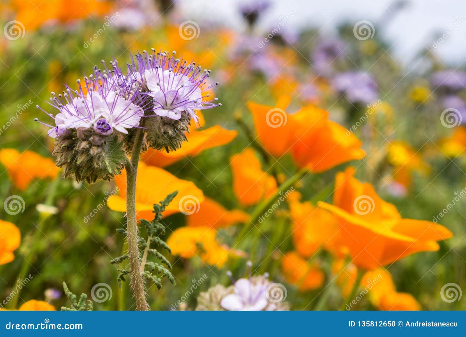 Cryptantha di Lacy Phacelia Phacelia che fiorisce fra i papaveri di California