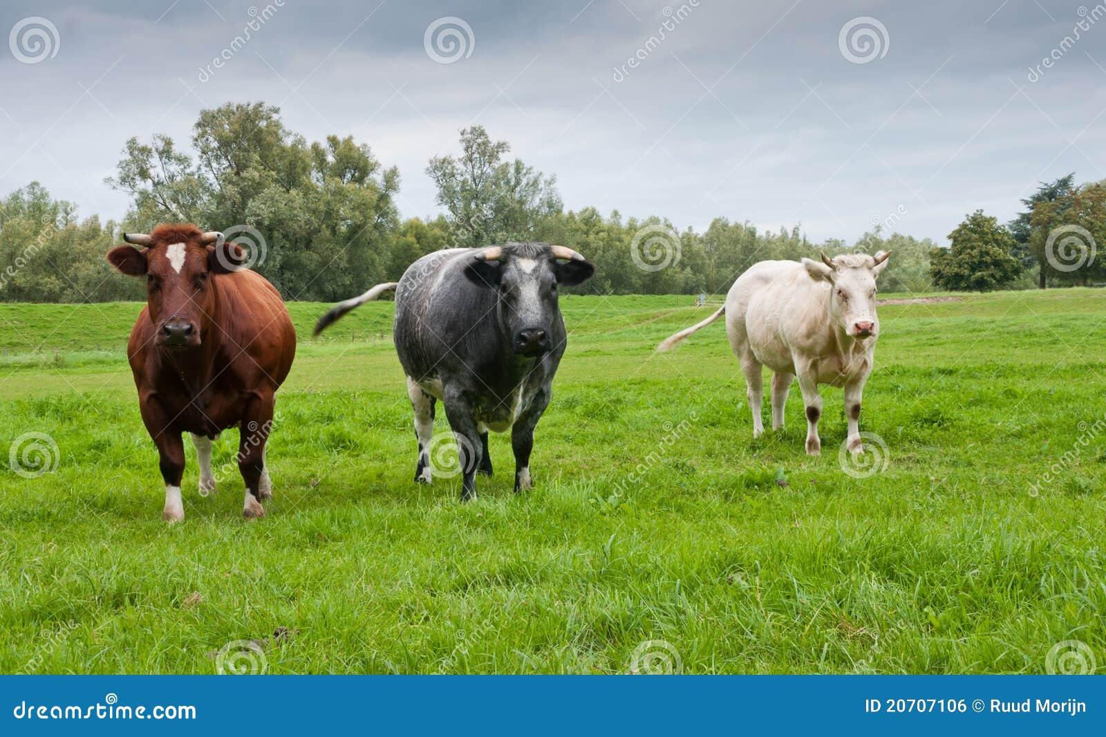 Cuadro del grupo de tres diversas vacas coloreadas imagen - Cuadros de vacas ...