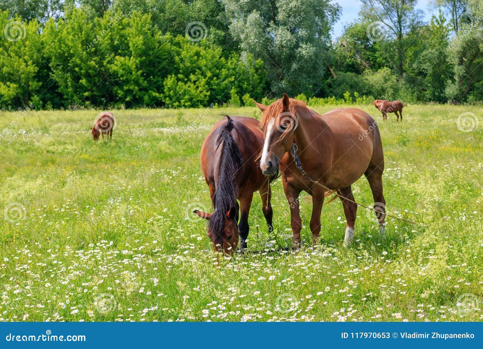 Cuatro caballos que pastan en la hierba verde del prado en un día de verano soleado