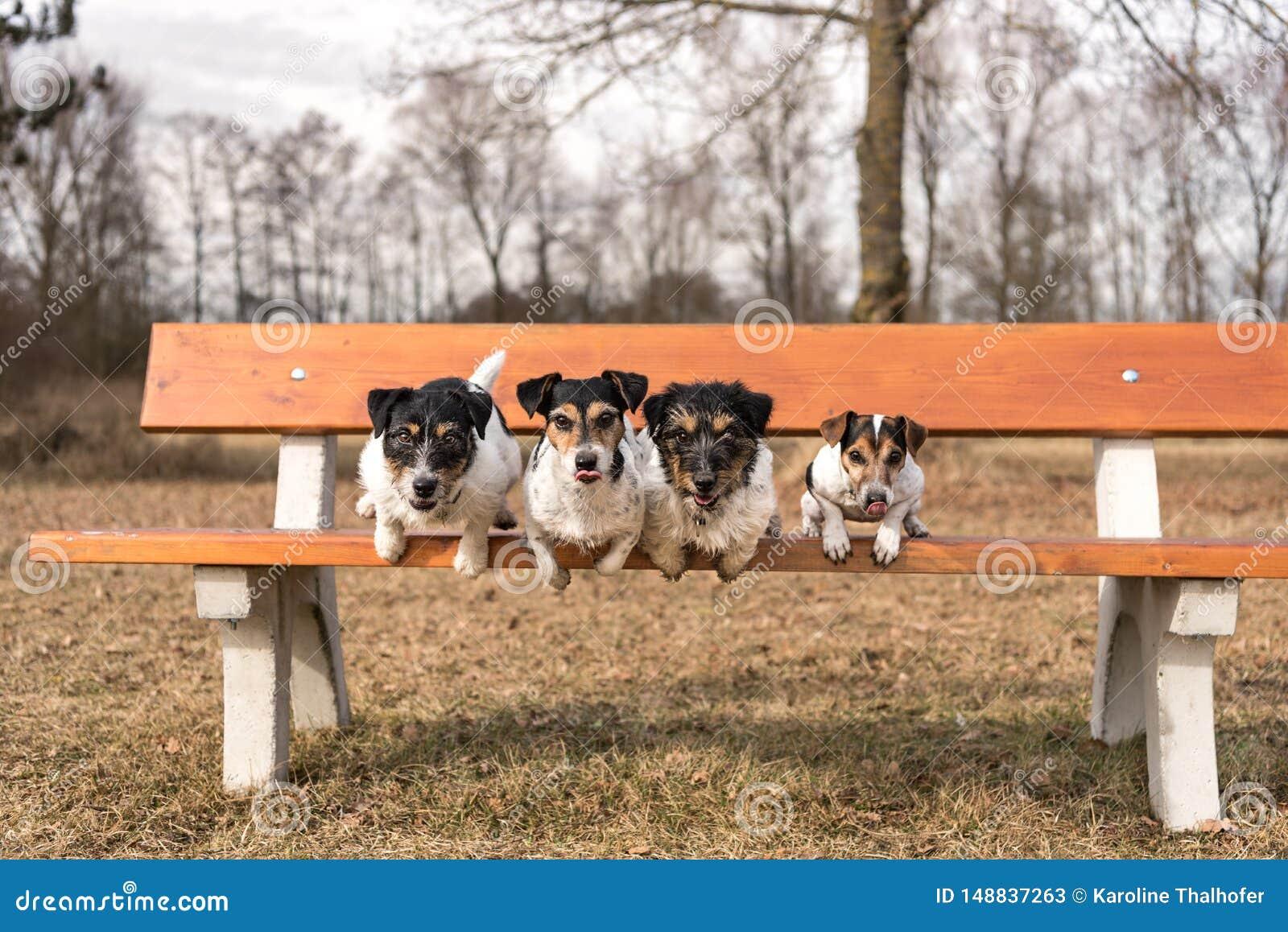 Cuatro perros que saltan de un banco de parque - terrier de Russell del enchufe