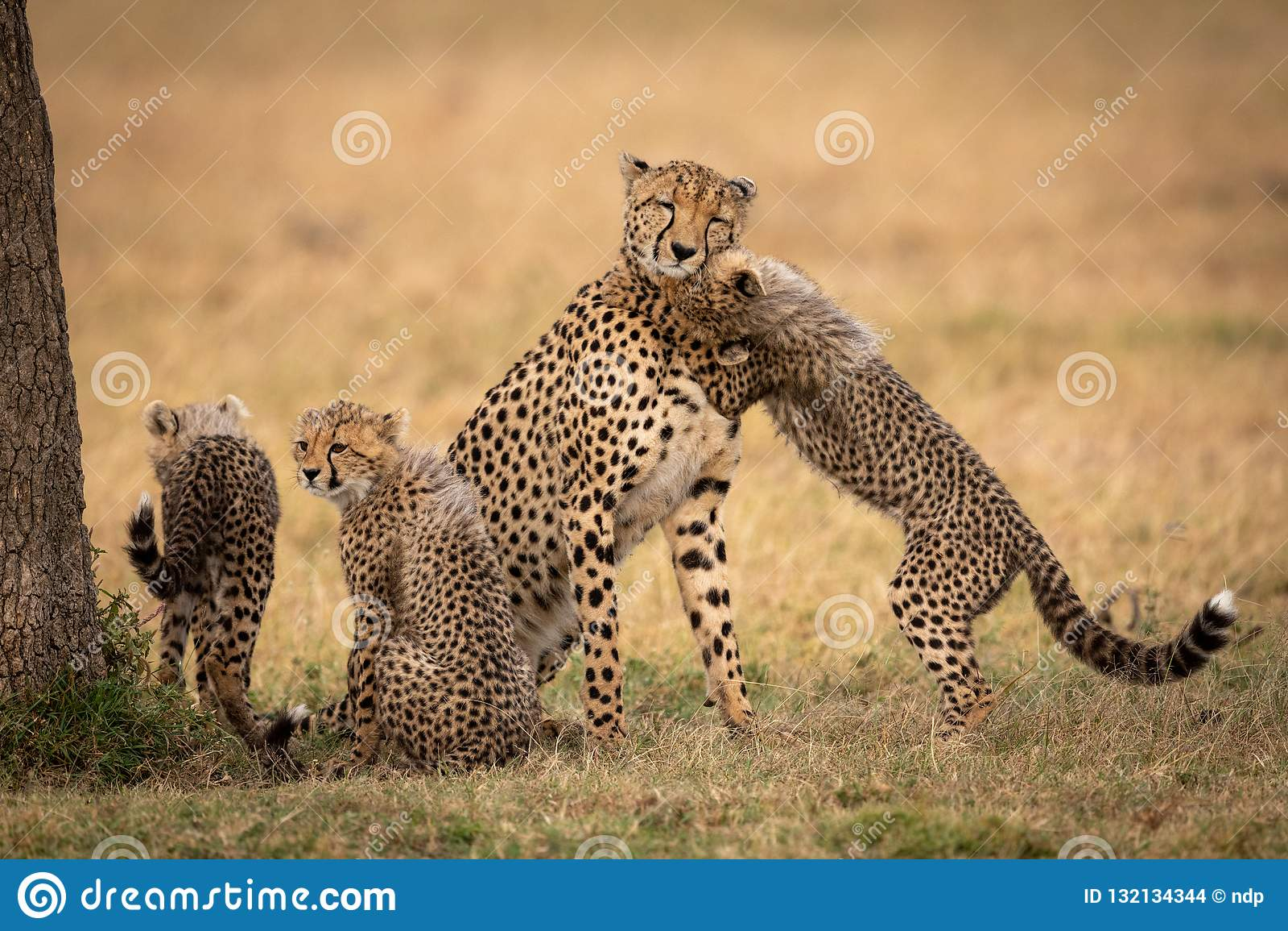 Cub鼻插入在草的猎豹在兄弟姐妹旁边