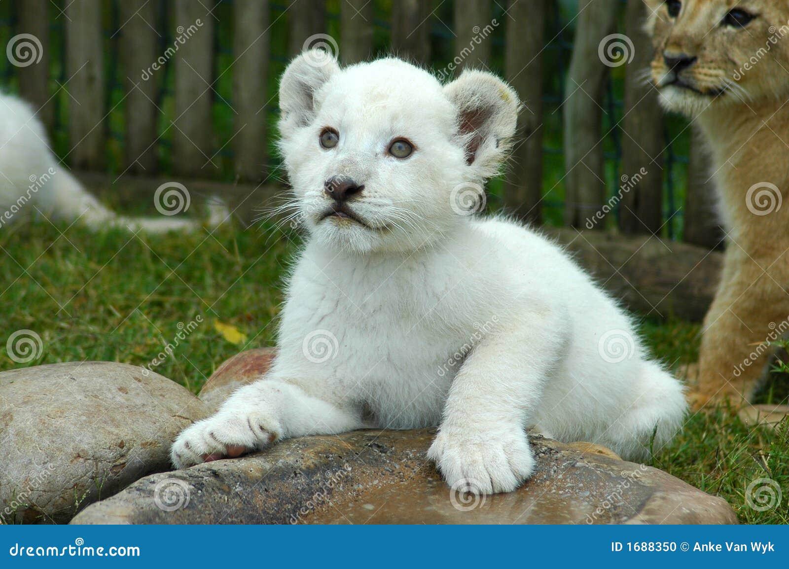 Cub λευκό λιονταριών