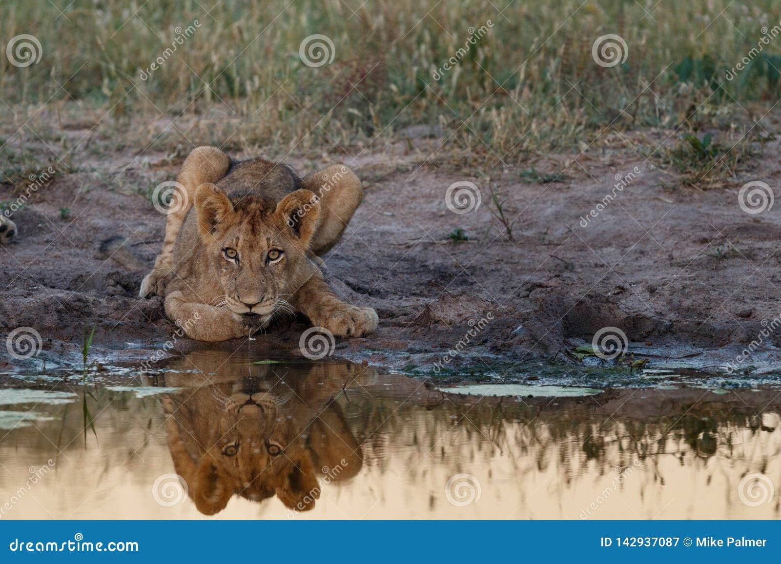 Cub λιονταριών αντανάκλαση