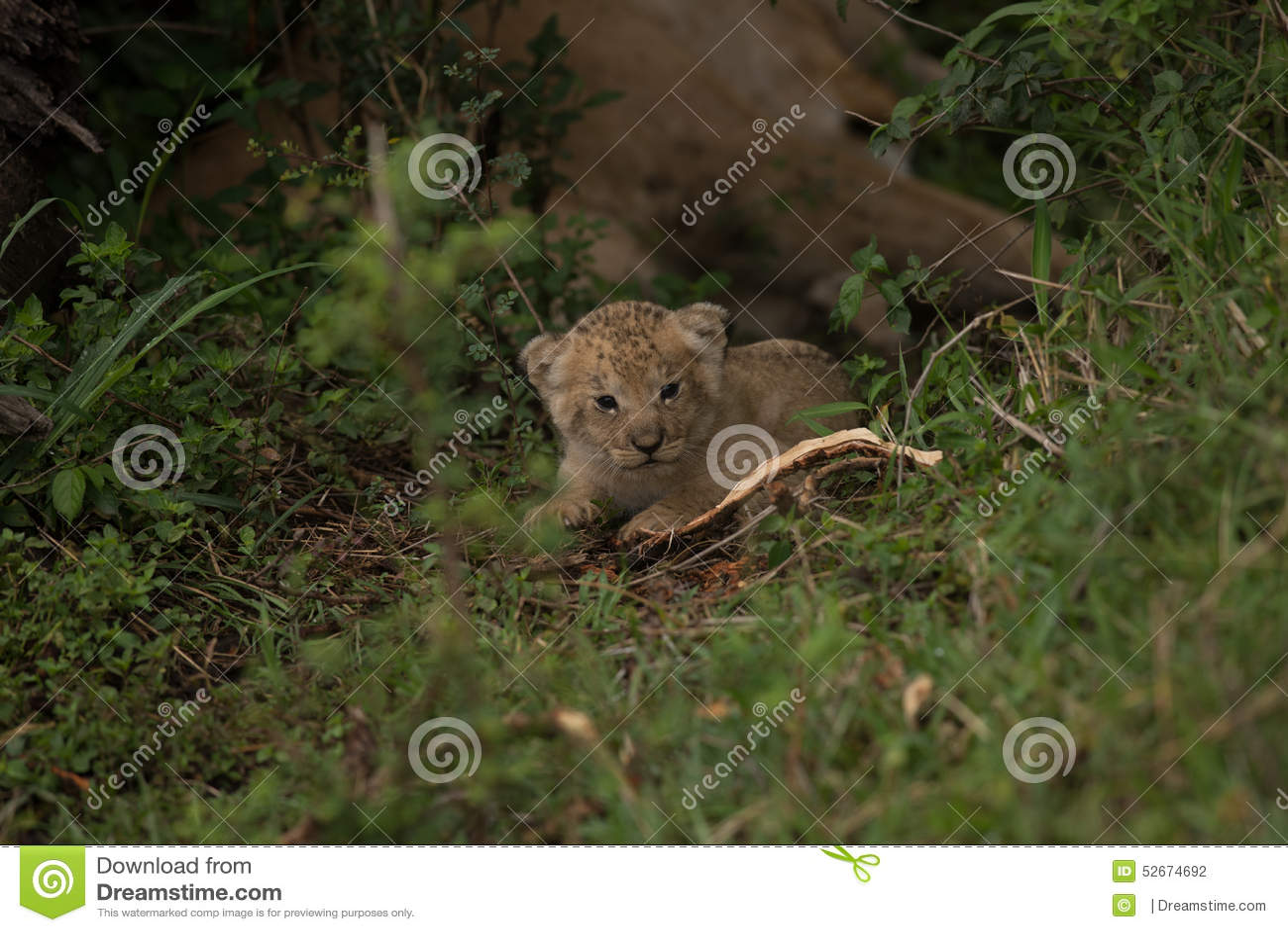 Cub μωρών λιοντάρι