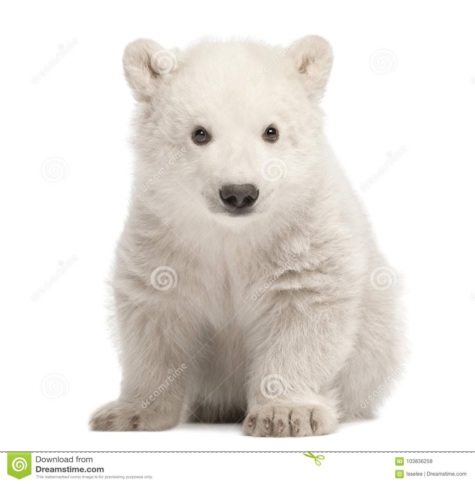 Cub πολικών αρκουδών, maritimus Ursus, 3 μηνών, που κάθεται ενάντια στο W