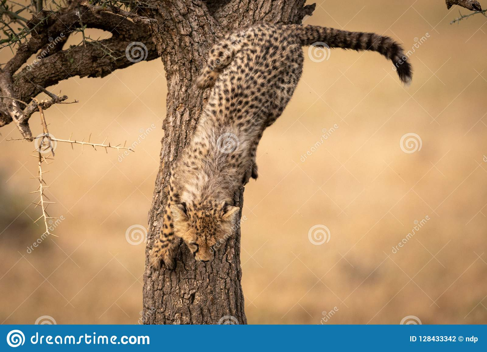 Cub τσιτάχ αναρριχείται αργά κάτω από το δέντρο αγκαθιών