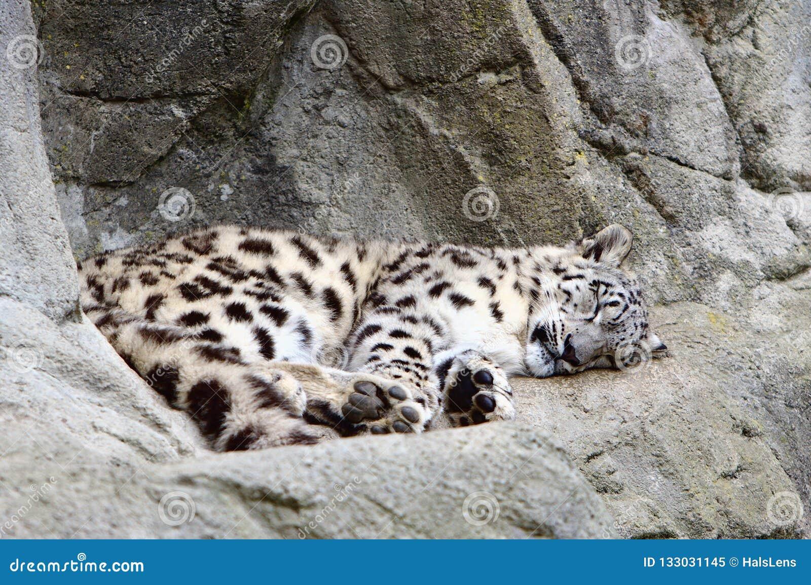 Cub del ghepardo