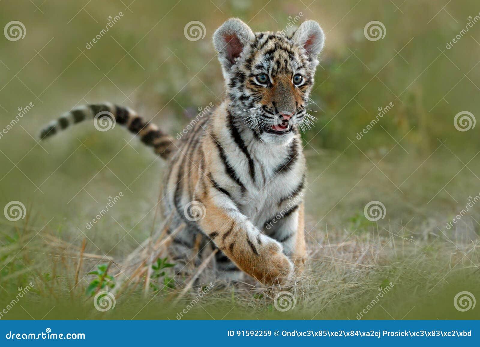 Cub di tigre sveglio Tigre siberiana in erba Funzionamento della tigre dell Amur nel prato Scena di estate della fauna selvatica