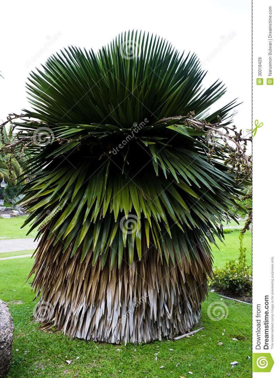 cuban petticoat palm tree royalty free stock images image 30018429
