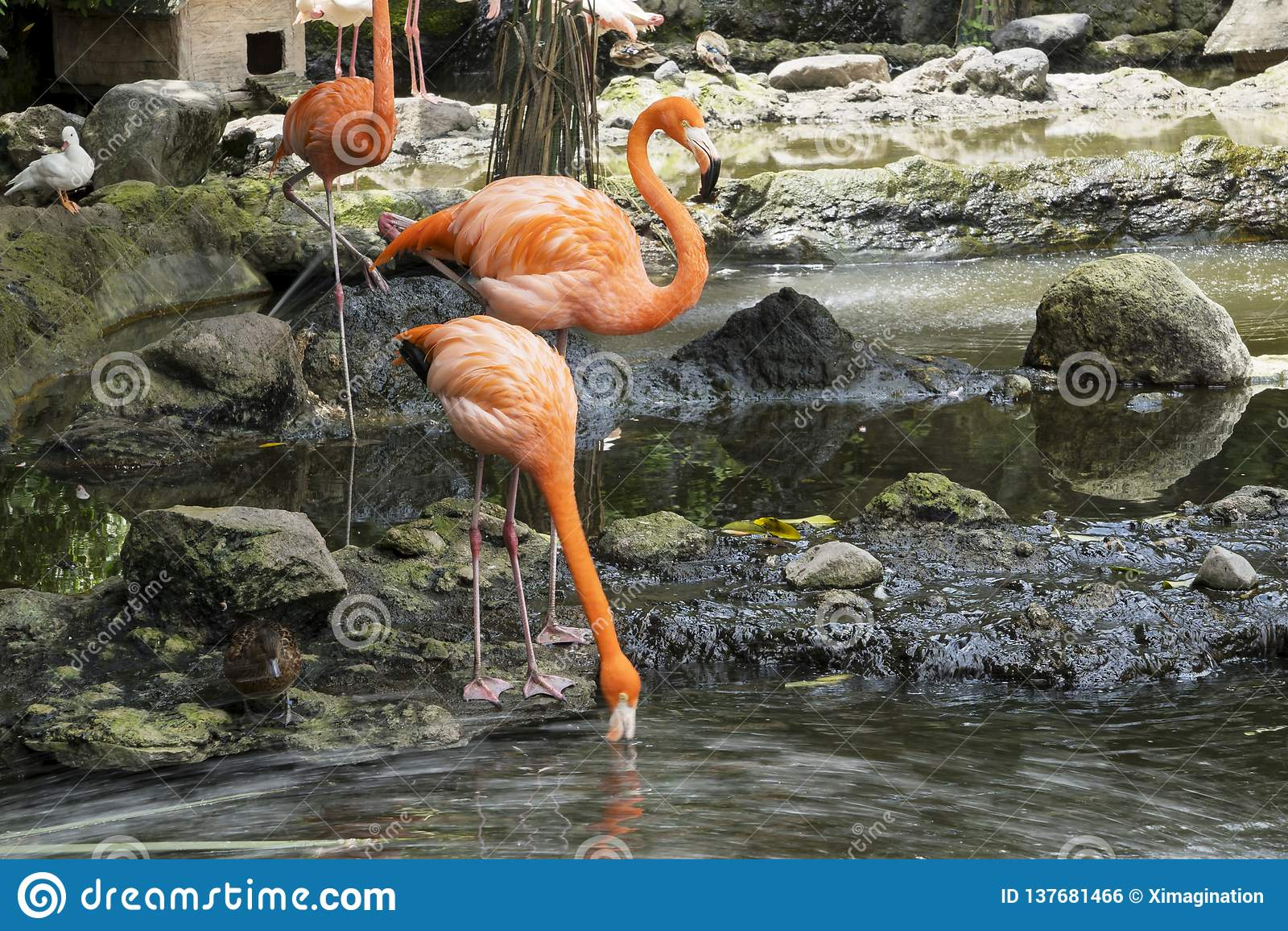 Cubano Lesser Flamingos de la multitud en el lago