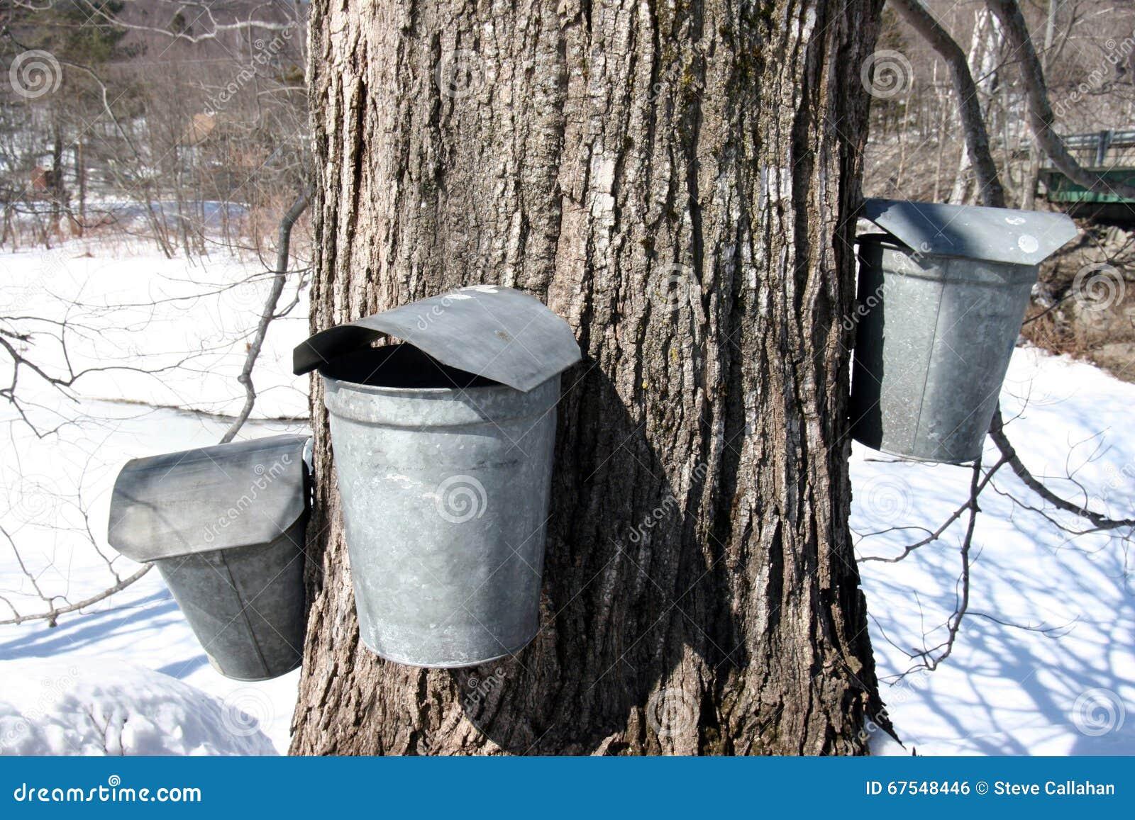 Cubetas da árvore e da coleção do açúcar de bordo