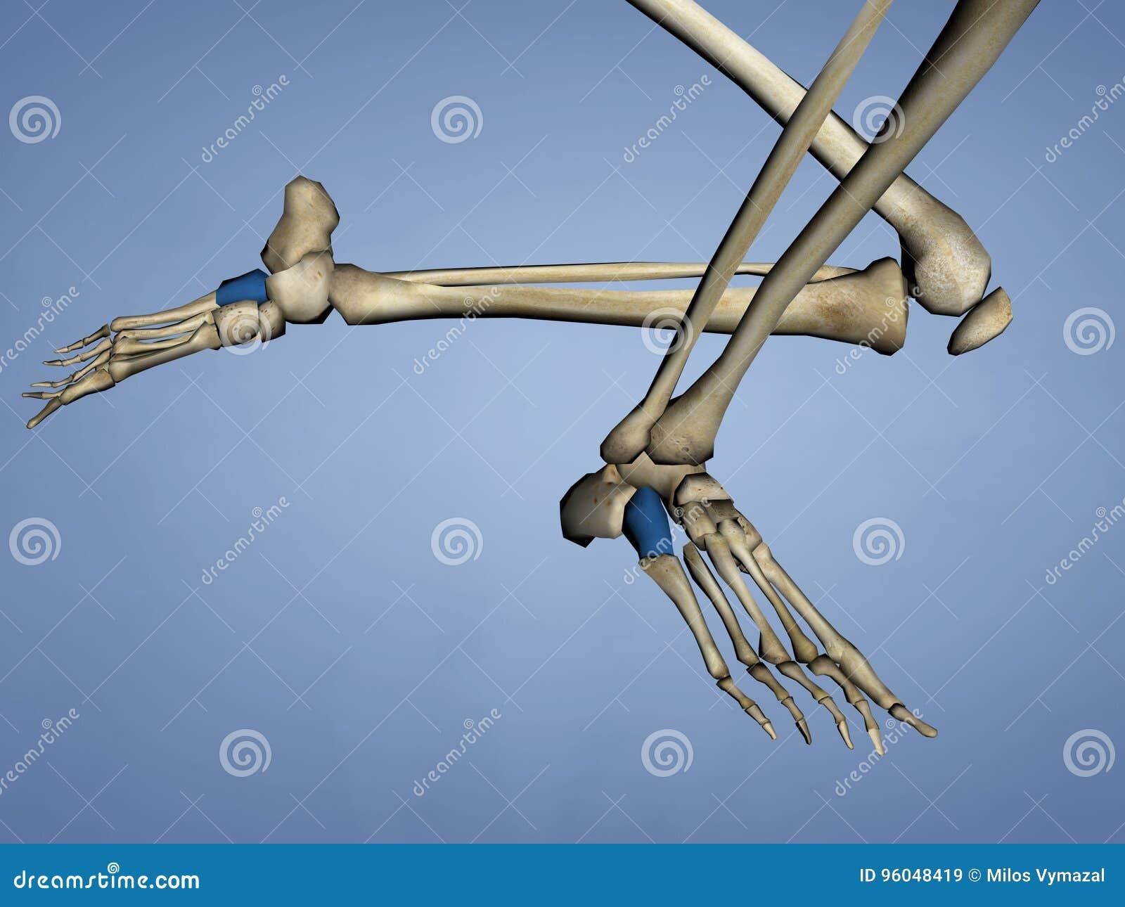 Cuboid Bone, 3D Model stock illustration. Illustration of anatomical ...