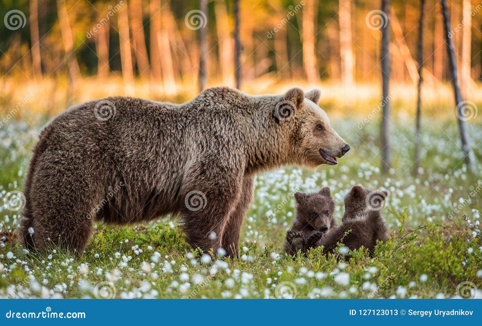 Cubs αυτή-αρκούδων και playfull αρκούδων Άσπρα λουλούδια στο έλος στο θερινό δάσος