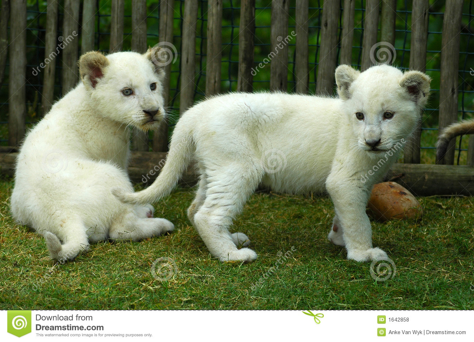 Cubs λευκό λιονταριών