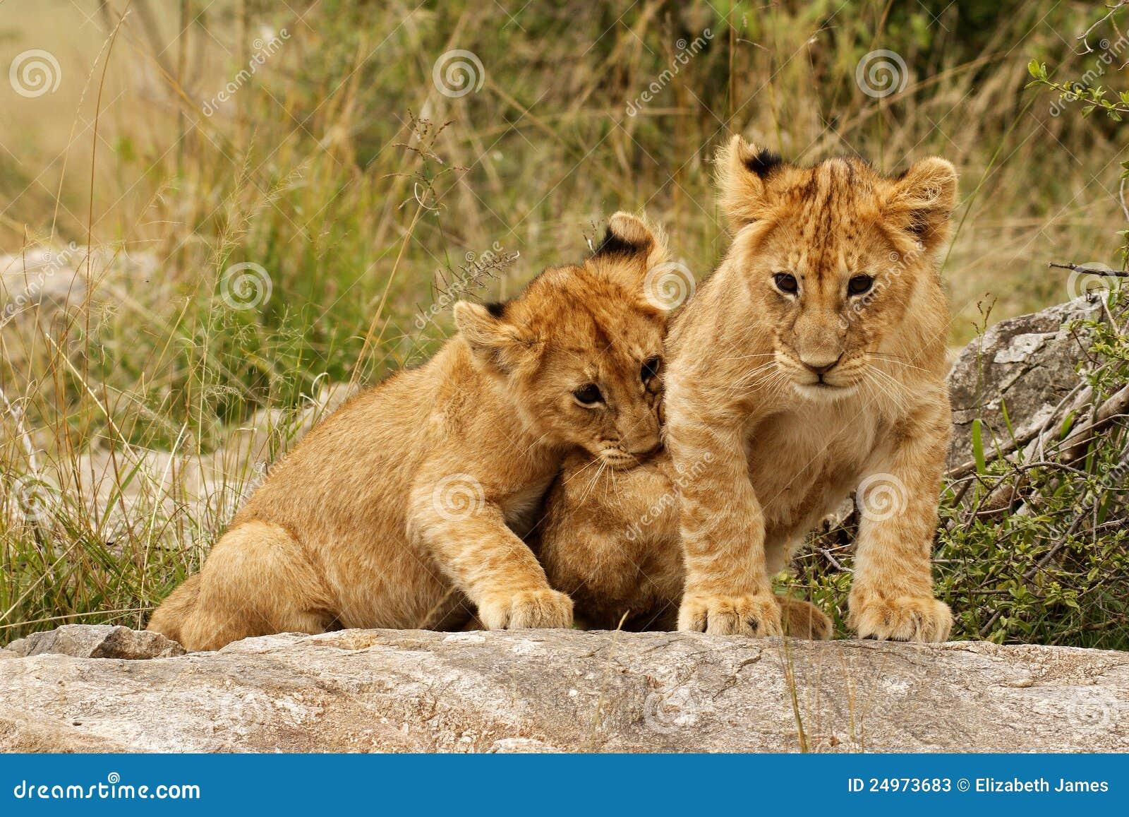 Cubs детеныши льва