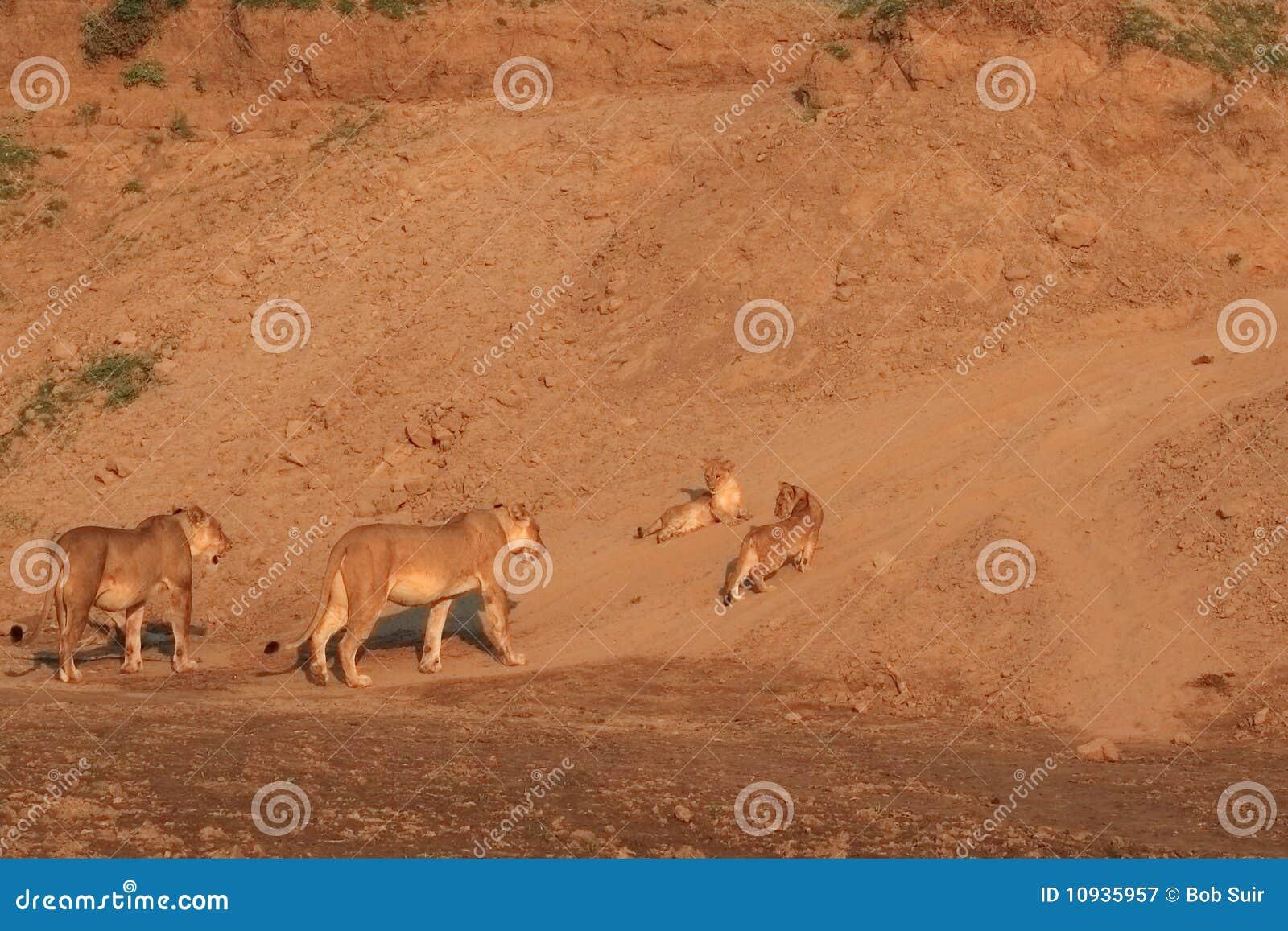 Cubs львицы 2 одичалые