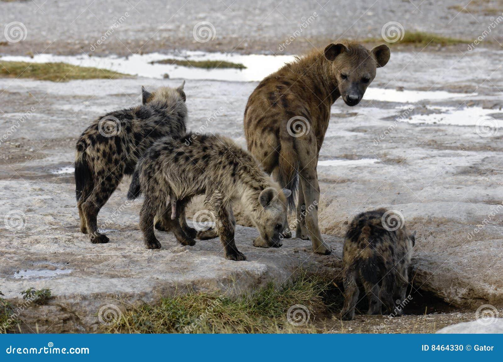 Cubs hyena