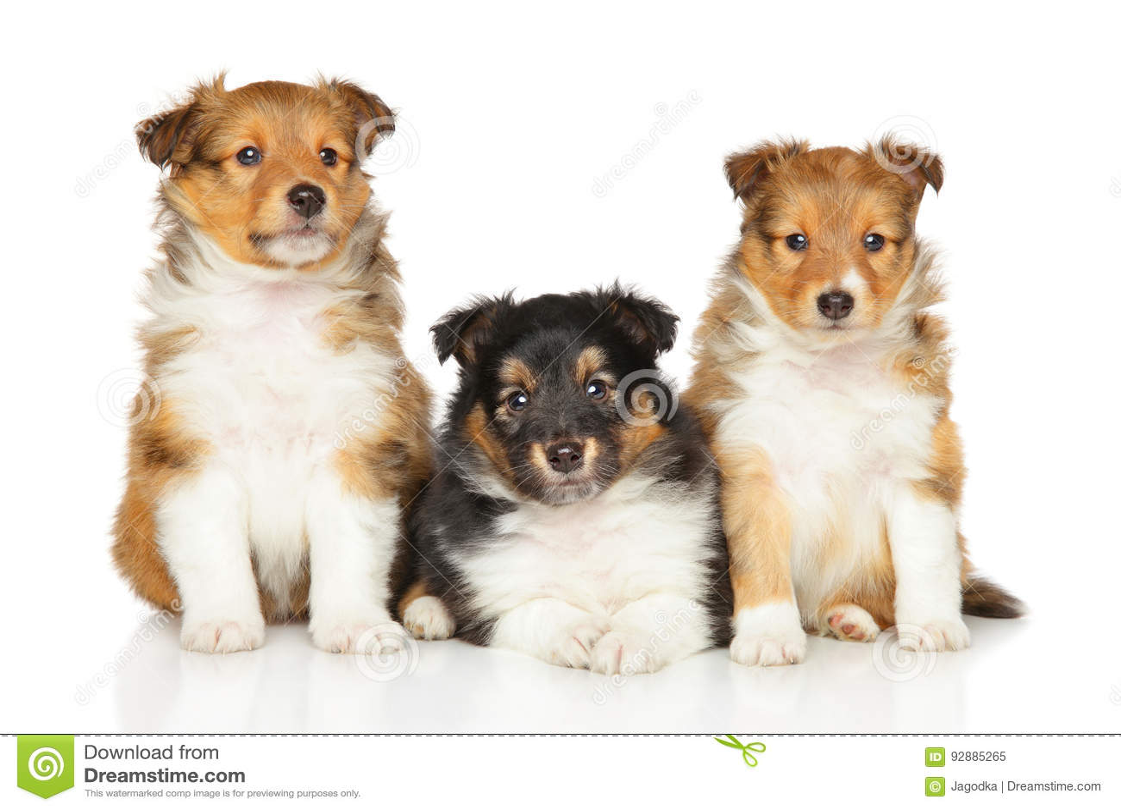 Cuccioli Del Cane Pastore Di Shetland Immagine Stock Immagine Di