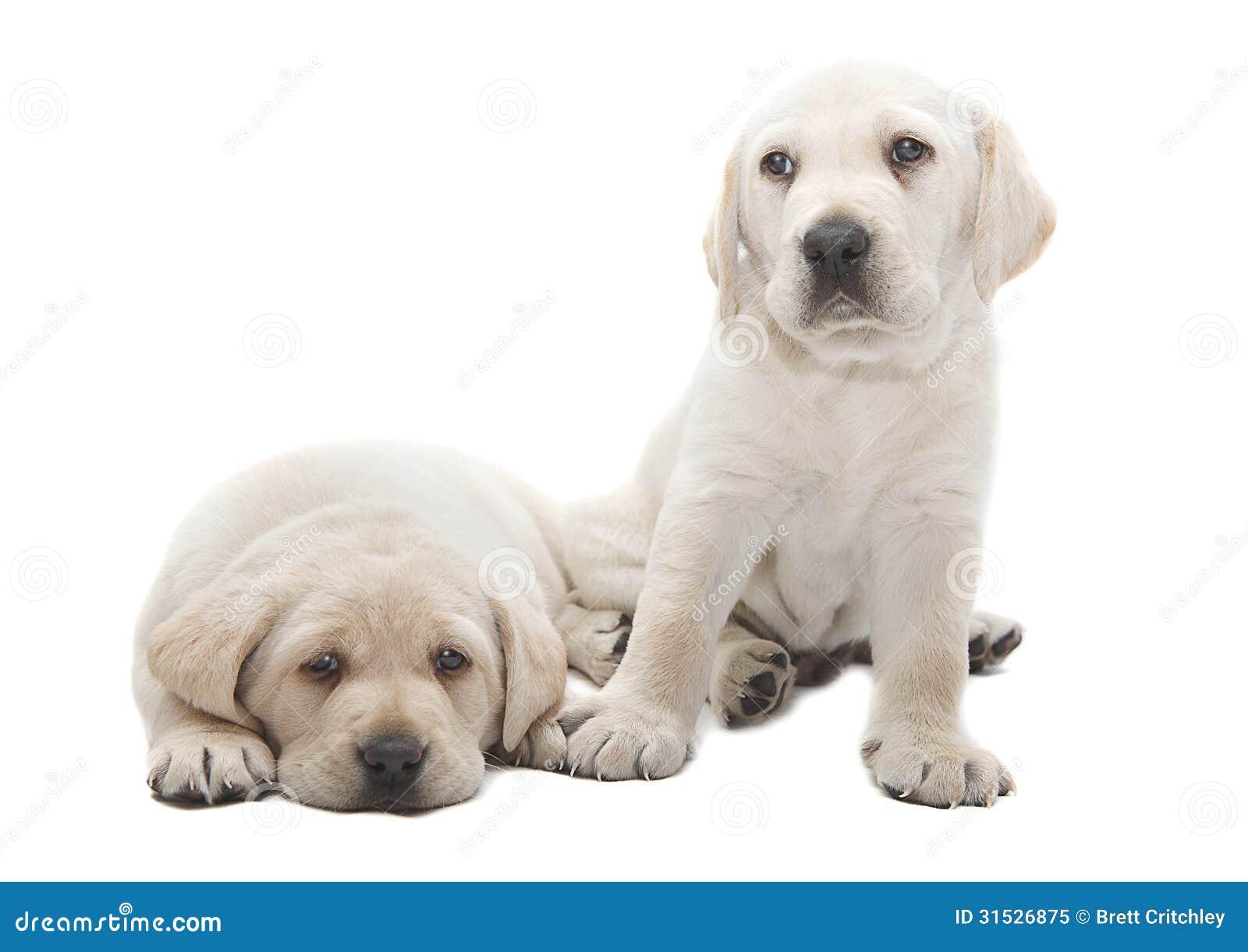 Cuccioli Di Cane Di Labrador Immagine Stock - Immagine: 31526875