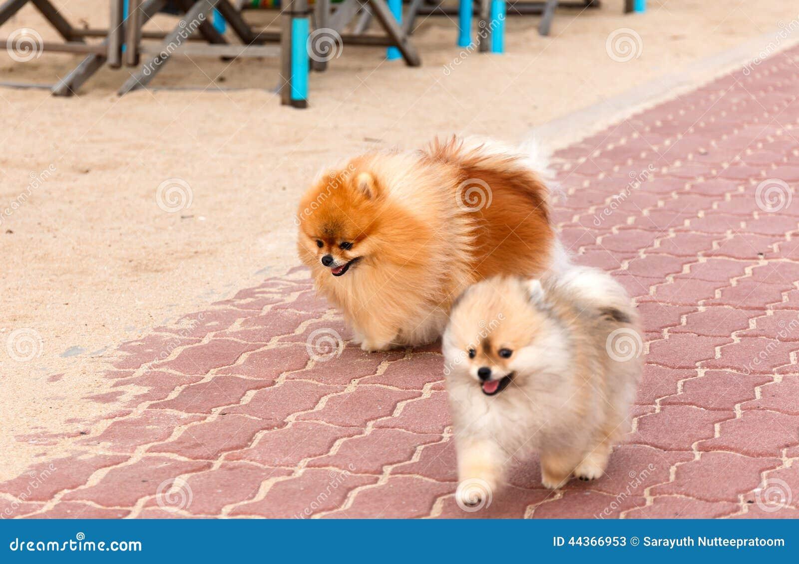 Cuccioli di cane pomeranian di Bianco-Brown