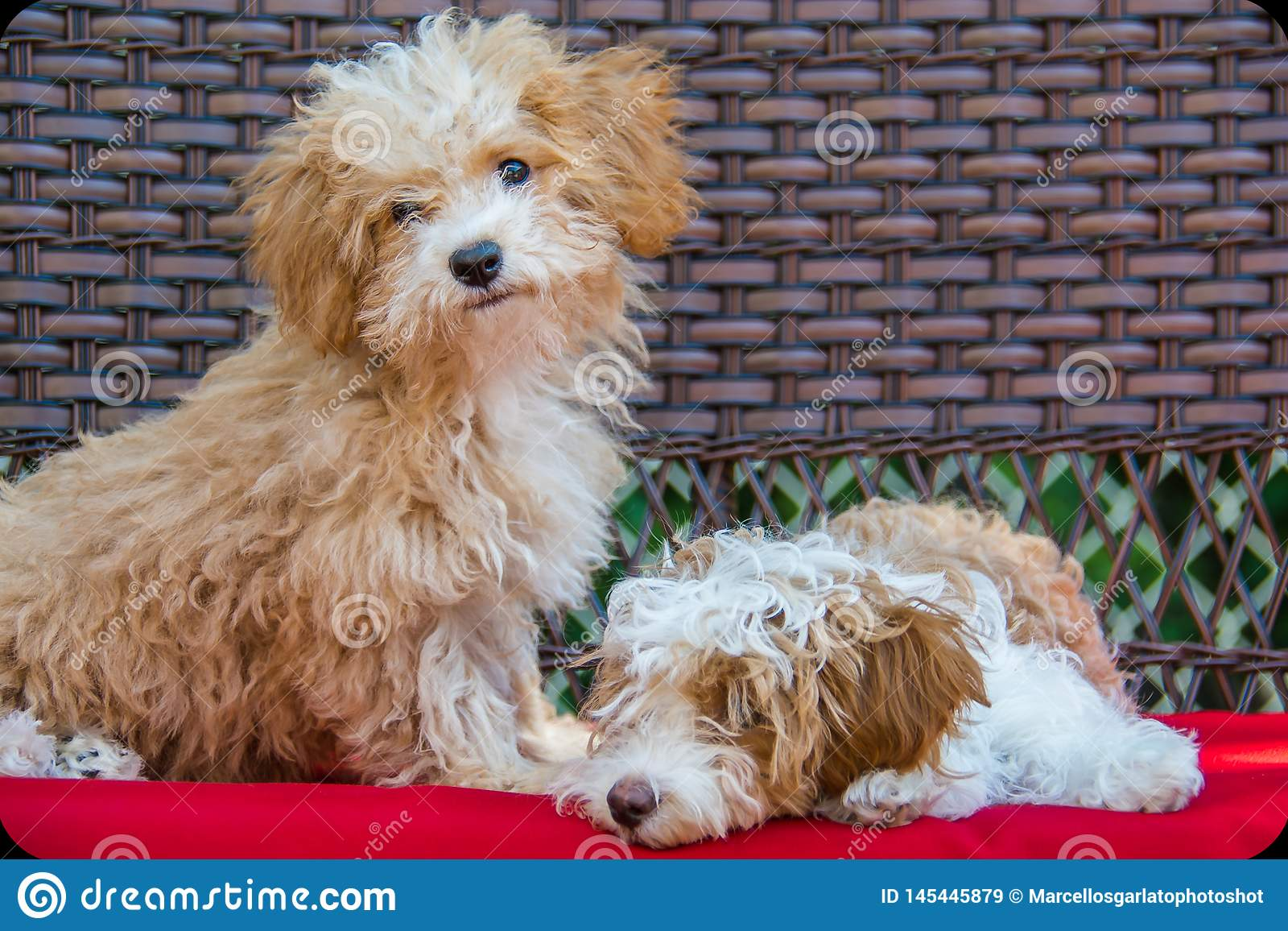 Cuccioli di Havapoo che posano su un banco