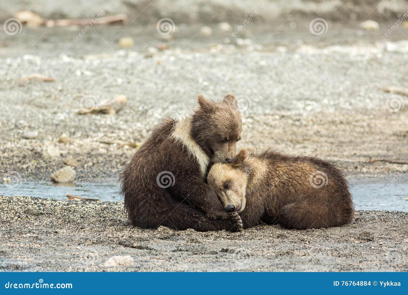 Cuccioli di orso bruno divertenti sulla riva del lago for Affitti cabina grande lago orso