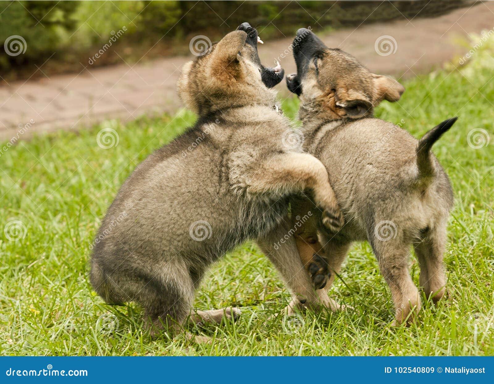 Cuccioli Di Un Cane Un Pastore Tedesco Immagine Stock Immagine Di