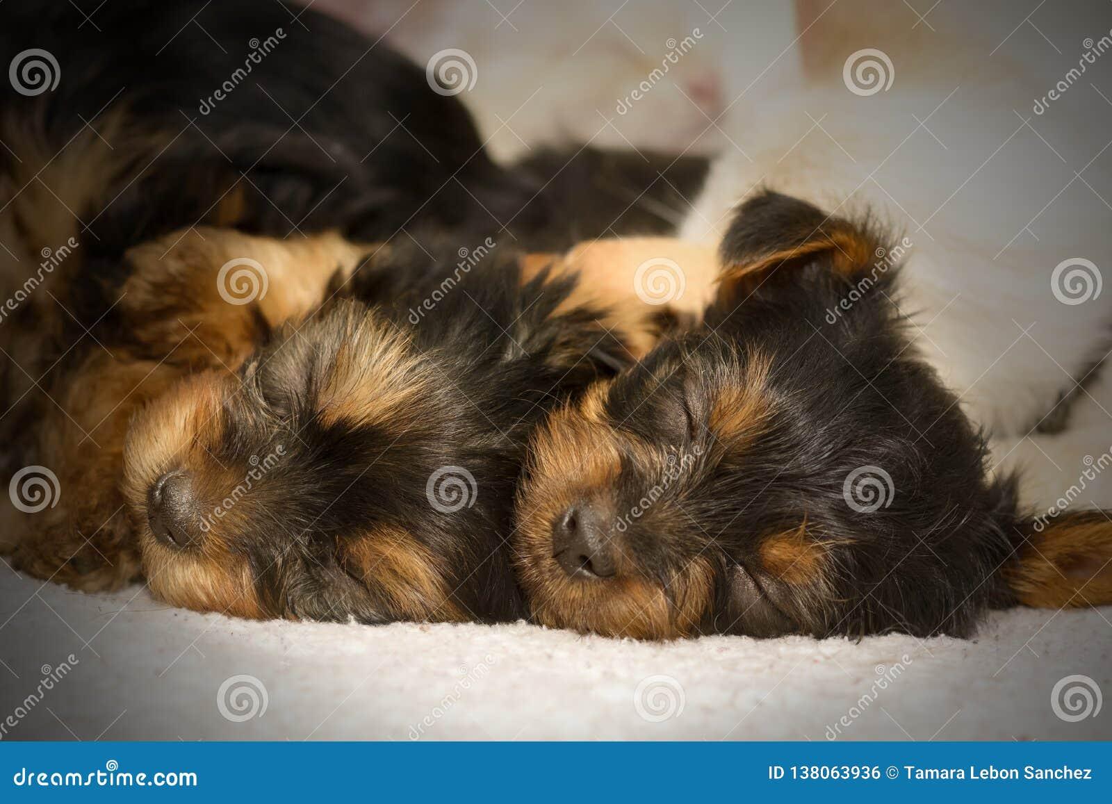 Cuccioli svegli dei Terry di sonno Yorkshire