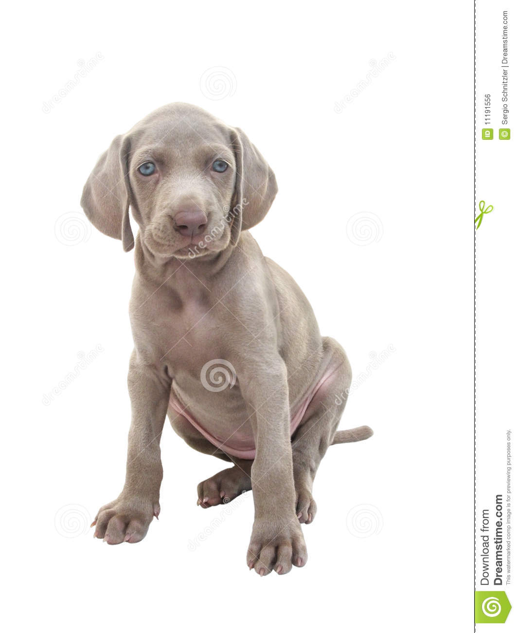 Weimaraner Dog Puppy For Sale