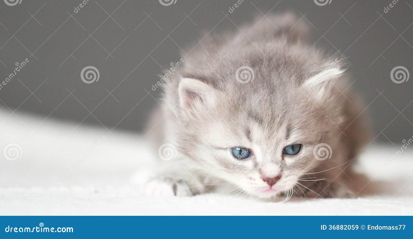 Download Cucciolo Blu Della Razza Siberiana Ad Un Mese Immagine Stock - Immagine di occhi, sbadigliare: 36882059