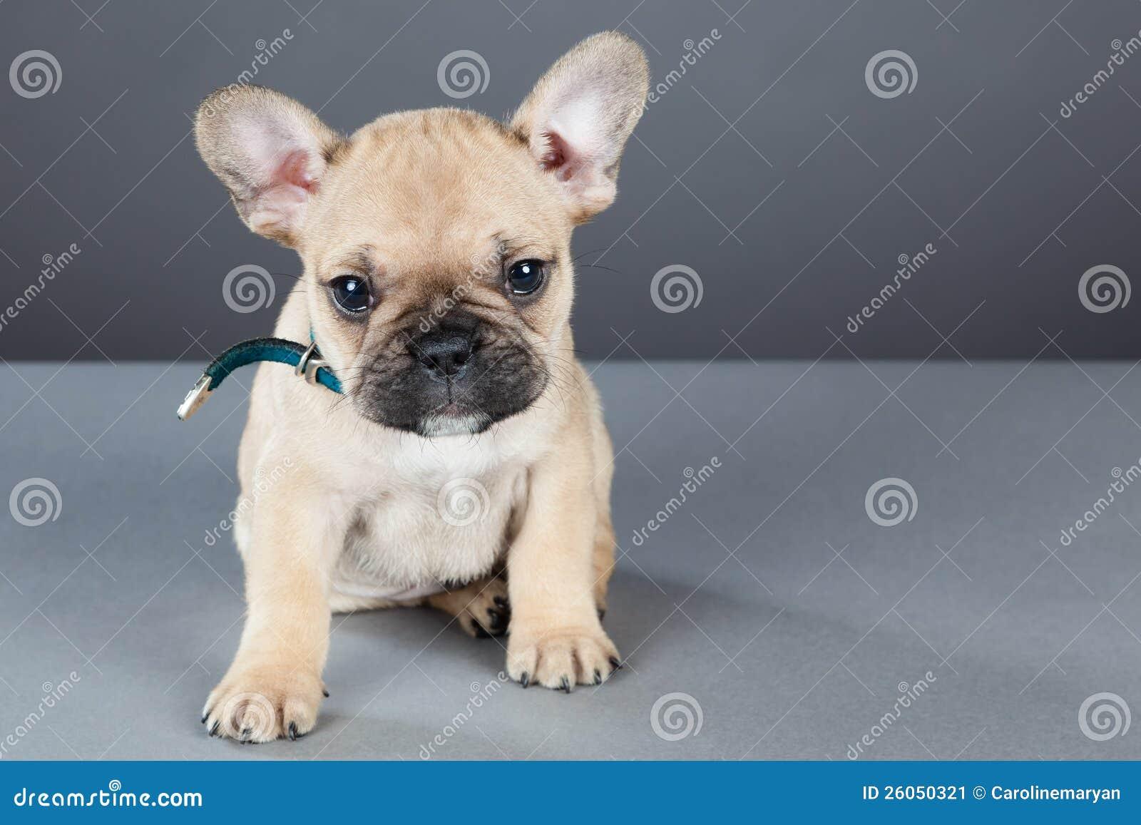Cucciolo Del Bulldog Francese Che Esamina In Su La Macchina